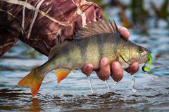 Large striped bass with a soft bait and hook in the mouth and drops of running water in the fisherman`s hand. Fishing on a jig & soft bait.Perch on the hook in Royalty Free Stock Photos