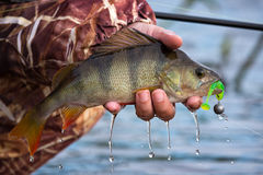 Large striped bass with a soft bait and hook in the mouth and drops of running water in the fisherman`s hand.Perch on the hook royalty free stock photos