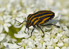 Large striped bedbug on white flowers Stock Images