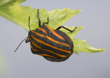 Large striped bug on a grass Royalty Free Stock Image