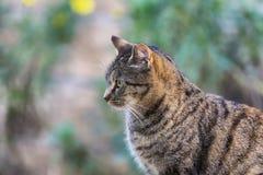 Large striped European grey cat Royalty Free Stock Image