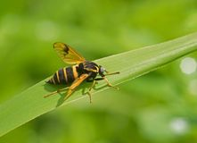 Large striped fly Royalty Free Stock Images