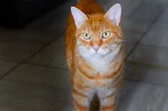 Large striped ginger cat with golden eyes Royalty Free Stock Photo