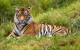 Large Striped Sumatran Tiger Relaxing in Grass Royalty Free Stock Photo
