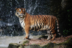 Large striped tiger. In the zoo stock photos