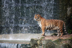 Large striped tiger Royalty Free Stock Images