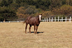 Large Strong Brown Colt Horse Stock Photography
