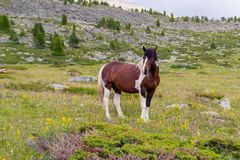 A large strong horse of brown and white color stands in the midd stock image