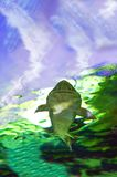 Siberian sturgeon Acipenser baerii stock images