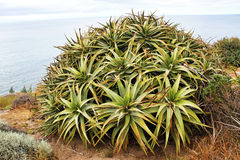 Large succulent on the southern coast of Australia Royalty Free Stock Photo
