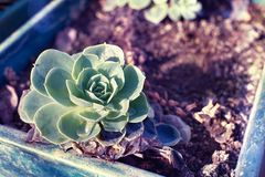 Large succulent with a water drop. Succulent in a soil pot stock photos