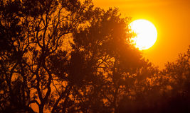 Large sun shining thrrough tree branches. Kruger, South Africa Stock Image