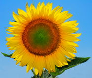 Large sunflower Royalty Free Stock Photography