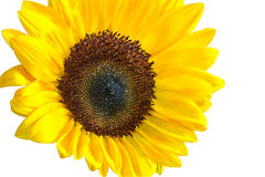 Large sunflower Stock Photos