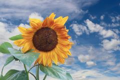 Large Sunflower against blue sky with fluffy clouds royalty free stock image