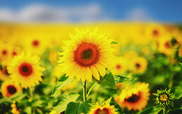 A large sunflower. On the background of a field Stock Photos
