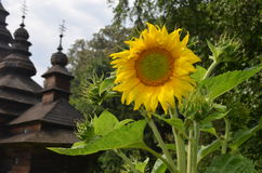 Large sunflower on the background of an old church building Royalty Free Stock Image