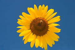 Large sunflower on blue sky. A view of a large, yellow sunflower in full bloom against a brilliant blue sky with a bee in the middle of the flower Stock Photography