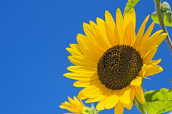 Large sunflower on blue sky Royalty Free Stock Photos
