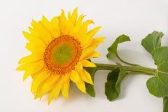 Large sunflower. Stock Photography