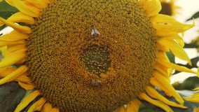 Beautiful macro view of a sunflower in full bloom with a bee collecting pollen. stock video footage