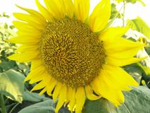 Large Sunflower royalty free stock photo