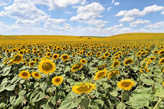 Large sunflower field. Endless sunflower farm in Europe during summer Royalty Free Stock Photography
