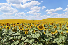 Large sunflower field. Endless sunflower farm in Europe during summer Stock Photography