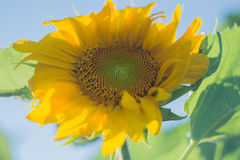 A large sunflower garden. In the summer Royalty Free Stock Images