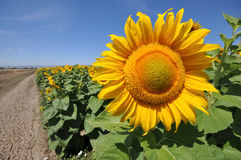 Large sunflower head  near cracked ground Royalty Free Stock Images