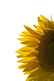 Large sunflower head showing details Royalty Free Stock Photography