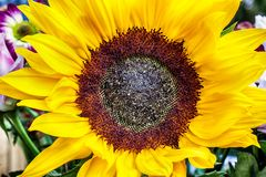 Large sunflower head viewed from above. Large sunflower head view from above showing closeup of yellow petals and big seed head. Sunflowers are the symbol for Royalty Free Stock Images