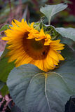 Large sunflower leaning on a leaf Stock Image