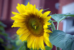 Large Sunflower Royalty Free Stock Photos