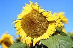 Large Sunflower Royalty Free Stock Photo