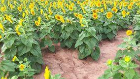 A large sunflowerfield in the country stock video footage
