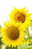 Large sunflowers Stock Photography