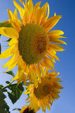 Large sunflowers Royalty Free Stock Photography