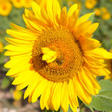 Large sunflowers with bee Stock Images