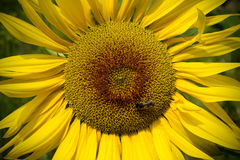 Large sunflowers with bee Royalty Free Stock Photos