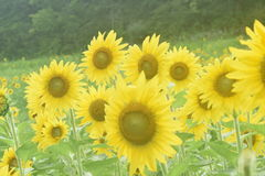 Large sunflowers in field closeup Royalty Free Stock Images
