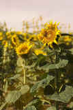 Large Sunflowers In A Field Royalty Free Stock Images