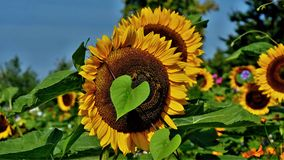 Large sunflowers with a heart-shaped leaf in front. Large flower of a sunflower with an ivy leaf in front in the form of a green heart Royalty Free Stock Photo