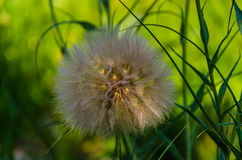 Large fluffy dandelion. A large, sunny dandelion on a summer day royalty free stock photo