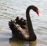 Large Swan black with thick plumage in the pond Royalty Free Stock Image