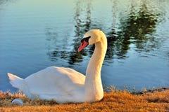 Large Swan Royalty Free Stock Photos