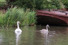 Large swans with water proof feathers. Two swans in the water ways of a canal.feathers and beak Royalty Free Stock Image