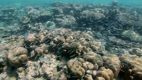 A large swarm fish swimming in a coral reef. A large swarm of Sri Lanka wavy lines rabbit fish swimming in a coral reef stock footage