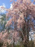 Large Sweeping, Weeping Cherry Blossom Tree Royalty Free Stock Images