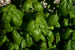 Large Sweet Basil Plant. Looking down on a large green sweet basil plant with shiny leaves Stock Images